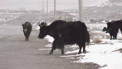 Herd of yaks on a road set amid a snow covered landscape Stock Footage