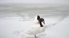Two black necked swans walk on snow out of frame Stock Footage