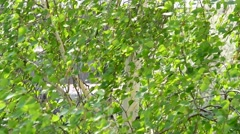 Closeup of birch tree branches blown by wind in spring or summer Stock Footage