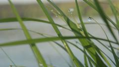 Green grass with drops of dew. Moisture, drops, morning, nature - stock footage