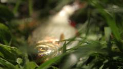 Stock Video Footage of Caught fish lying in the grass. (Roach)