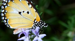 Wandering monarch butterfly close up showing eye detail  Stock Footage
