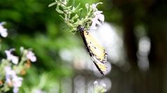 Wandering monarch butterfly taking flight from flower Stock Footage