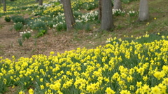 Various daffodil fields in nature park Stock Footage
