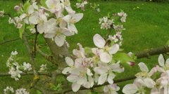 blossom apple tree with bee - stock footage