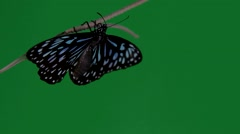 Green screen blue tiger butterfly on grass Stock Footage