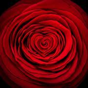 Stock Illustration of Love Rose Concept