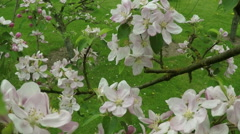Blossom apple tree with bee Stock Footage
