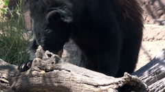 4K UHD frustrated Brown bear scourging for food rolls log Stock Footage
