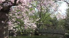 Cherry Blossoms -Sakura flowers in the springtime 4k footage  Stock Footage