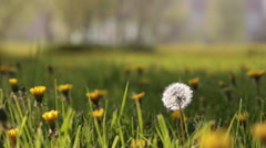 blowing dandelion - stock footage