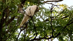 Pink Corella eating seeds a high in a tree Australia Stock Footage