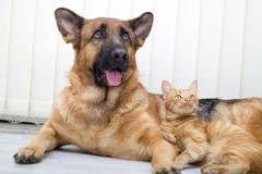German Shepherd Dog and cat together cat and dog together lying on the floor - stock photo