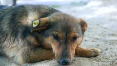 affectionate good stray dog. mark, register stray dogs - stock footage