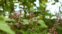 Stock Video Footage of blooming lilac swaying in the wind, shallow depth of field