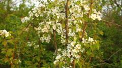 Flowering pear tree in the garden Stock Footage