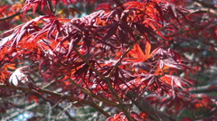 Japanese Maple tree (Acer palmatum)  Stock Footage
