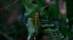 Dragon fly resting in tropical garden Stock Footage