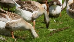 Poultry farm. Group of gray geese grazing grass. Stock Footage