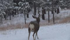 Subordinate Mule Deer Buck Scared Away by Threats From the Dominant Buck Stock Footage