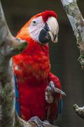 Macaw - Ara ararauna, Ecuador Stock Photos