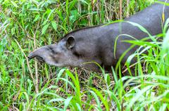 Tapir in ecuadorian Amazonia Stock Photos