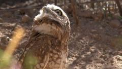 4K UHD Burrowing owl Athene cunicularia in the desert 1 Stock Footage