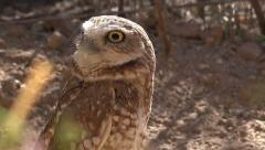 4K UHD Burrowing owl Athene cunicularia in the desert 2 Stock Footage