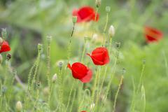 Poppies on the field, Papaver rhoeas Stock Photos