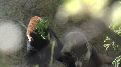 4K UHD Coatimundi pair on cliff desert wildlife Stock Footage