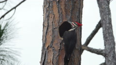 4K Pileated Woodpecker (Dryocopus pileatus) - Male and Female 1 Stock Footage