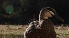 Pacific black duck with lens flare Stock Footage
