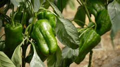 Pepper green fruit hanging at branch of plants in greenhouse Stock Footage