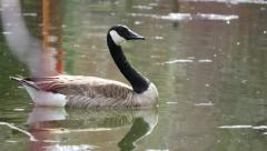 Goose Swimming in Pond, Birds Chirping Stock Footage