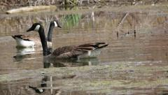 Two Geese Swimming in Pond, Background Bird Noises Stock Footage