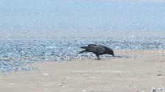 Crow Eating Washed Up Jellyfish Stock Footage