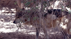 4K UHD Mexican Grey wolf looks at camera and walks off Stock Footage