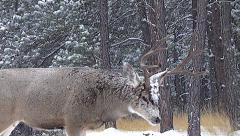Buck in Snowstorm Glowers and Gives A Grunt-Snort-Wheeze Threat Call w Audio Stock Footage