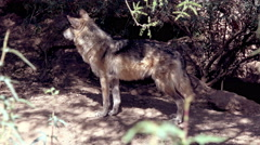 4K UHD Mexican Grey Wolf observing looses interest walks off Stock Footage