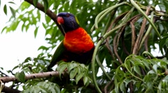 Rainbow lorikeet eating stops listens and communicates warning calls and then ta Stock Footage