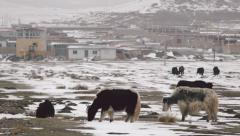 Yaks graze on a snow covered mountain with a small village on the background Stock Footage