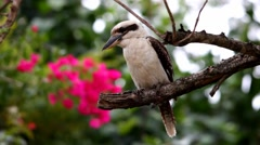 Kookaburra Australian symbol and icon Stock Footage