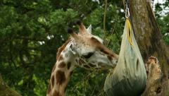 A Giraffe Eating Stock Footage