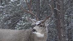 Zoom in on Dominant Mule Deer Buck in Snowstorm Stock Footage