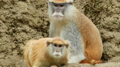 Monkey, Patas Monkey, Curiosity, Suspicion Stock Footage
