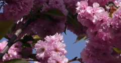4K, Pink Spring blossom on the trees and flowers Stock Footage
