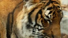 Malayan Tiger Stock Footage