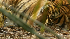 Malayan Tiger Sleeping Stock Footage
