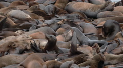 Wild Sea Lion Population 1 Stock Footage