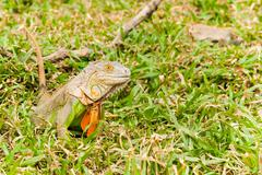 Big Iguana on field grass Stock Photos